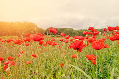 Red poppy field in morning mist Stock Image