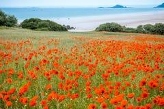 Red poppy field near sea, Brittany Stock Image