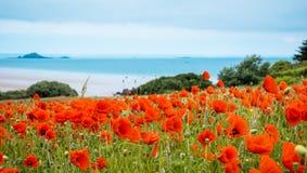 Red poppy field near sea, Brittany Royalty Free Stock Photography