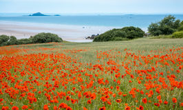 Red poppy field near sea, Brittany Royalty Free Stock Photography