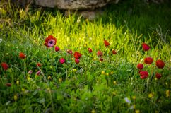 Red poppy field. At the Necropolis in Pamukkale, Turkey Stock Photo