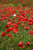 Red poppy field with one white poppy Royalty Free Stock Images