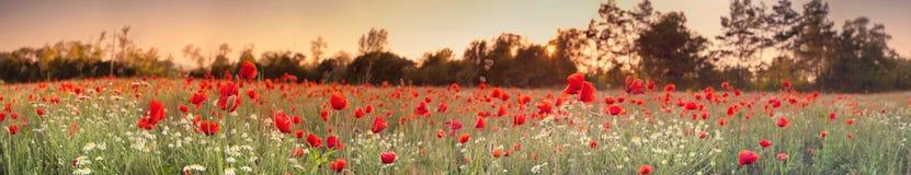 Red poppy field. Panorama photo stock photo