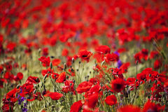 Red poppy field Royalty Free Stock Photography