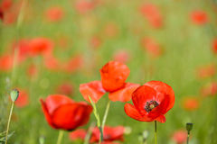 Red poppy in a field of poppies Stock Photo