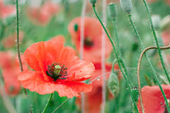 Red poppy field after rain Stock Photo