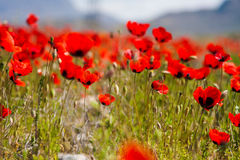 Red poppy field scene royalty free stock image