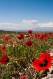 Red poppy field scene royalty free stock photo