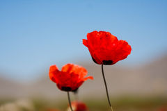 Red poppy field scene stock photography
