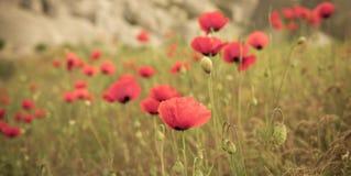 Red poppy field scene Royalty Free Stock Photo