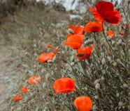 Red poppy field scene Royalty Free Stock Photography
