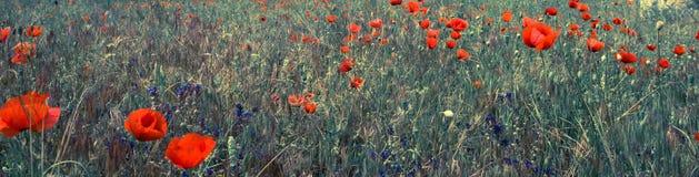 Red poppy field scene Stock Image