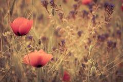 Red poppy field scene Stock Photos