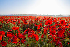 Red poppy field scene Stock Images