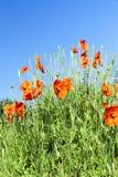 Red poppy field scene Stock Photo
