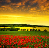 Red poppy field Stock Photos