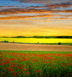 Red poppy field Royalty Free Stock Photo