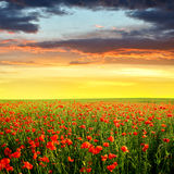 Red poppy field. Spring landscape with red poppy field in the sunset Stock Photo