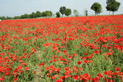 Red poppy field in spring. Somme, Picardie in north of France stock image