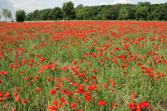 Red poppy field in spring. Somme, Picardie in north of France royalty free stock photo