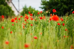 Red poppy field in summer daylight. Royalty Free Stock Image