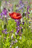 Red poppy in a field of summer wild flowers stock images