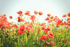 Red poppy field. In summertime royalty free stock photography