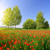Red poppy field in sunny day. Royalty Free Stock Photos