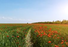 Red poppy field with sunny sky.  royalty free stock photography