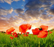 Red poppy field Royalty Free Stock Image
