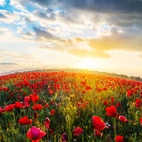 Red poppy field at the sunset Royalty Free Stock Image