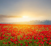 Red poppy field at the sunset Stock Images