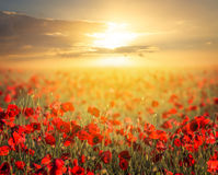Red poppy field at the sunset Royalty Free Stock Photo