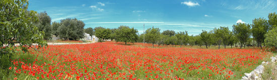 Red poppy field with trulli. Beautiful red poppy in field and green grass Stock Photo