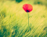 Red poppy in field Royalty Free Stock Image