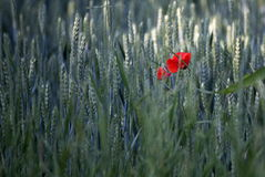 Red poppy. In a field of wheat Royalty Free Stock Photos