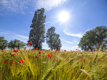 Red poppy field. Wheat blue sky trees and sun Stock Images