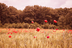 Red poppy field with wheat in sunset mist Stock Photography
