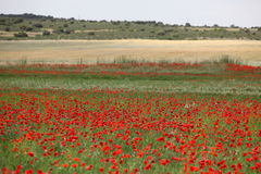 Red poppy field Royalty Free Stock Photo