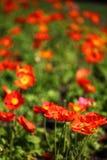 Red Poppy Fields Stock Photos