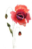 Red poppy flower. Watercolor illustration of red poppy flower Royalty Free Stock Photography