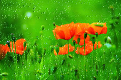 Red Poppy Flower. With water drops Royalty Free Stock Photography