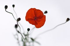 Red poppy flower Stock Photos