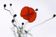 Red poppy flower. On light background stock photos