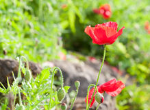 The red poppy flower Royalty Free Stock Photo