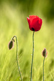 Red poppy. Red poppy flower with back light Royalty Free Stock Photography