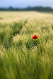 Red poppy flower. Stock Photos
