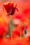 Red poppy flower. Stock Images