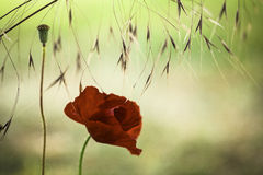 Red poppy flower background stock photography