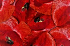 Red Poppy Flower Background Royalty Free Stock Photography
